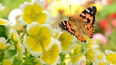 Schmetterlingskrankheit