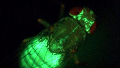 """An Fliegen lässt sich der Energiestoffwechsel gut erforschen. Hier wird das Körperfett der Fliege durch das fluoreszierende Protein GFP (""""green fluorescent protein"""") sichtbar gemacht. Quelle: Teleman/DKFZ"""