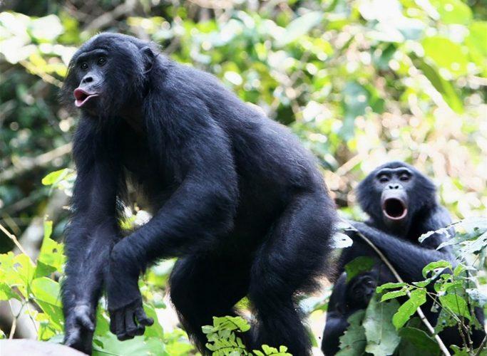 Tonhöhe: Bonobos klingen eine Oktave höher