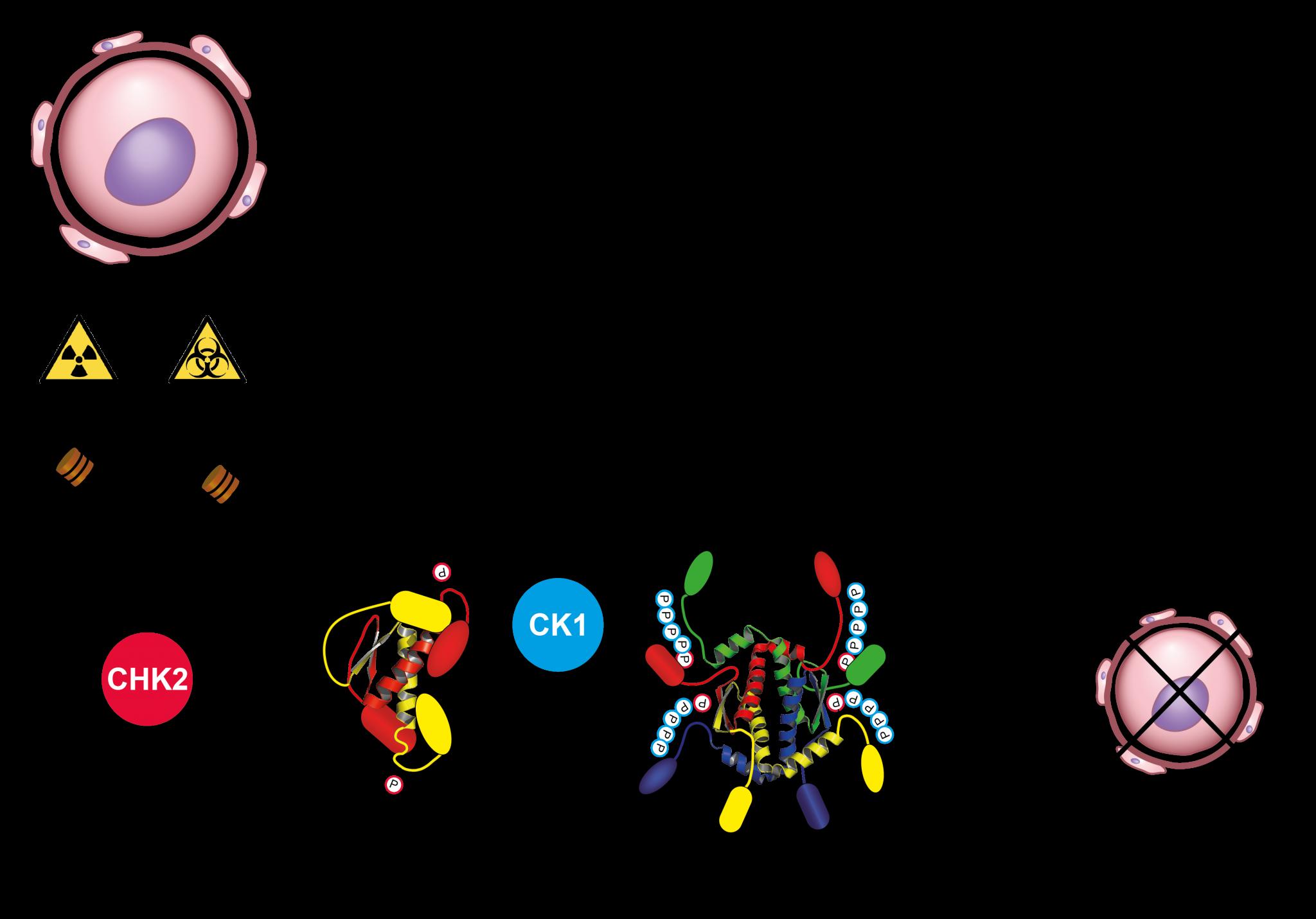 In durch Radio-/Chemotherapie geschädigten Eizellen wird das inaktive dimere p63 erst durch CHK2 modifiziert. Diese Modifikation dient dann als Erkennungssequenz für CK1, welches weitere Stellen in p63 phosphoryliert und damit die Tetramerisierung und Aktivierung bewirkt. Aktives p63 leitet im Anschluss die Apoptose von Eizellen ein. Quelle: Modifiziert von Tuppi et al. DOI: 10.1038/s41594-018-0035-7